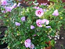 'Rose of Brenda'